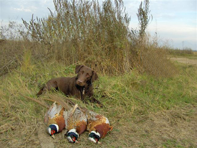Dog keeping watch over pheasant take
